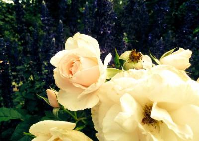 Abundant roses
